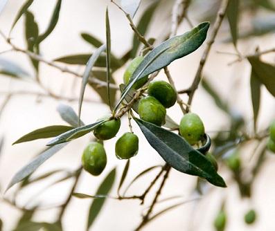 Olives-vertes-BioPress-100-pour-100-bio